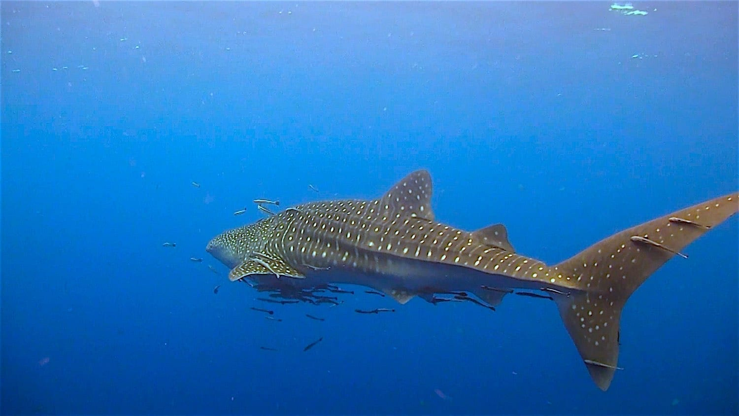 www.thefunkyturtle.com Hin Wong whalesharks