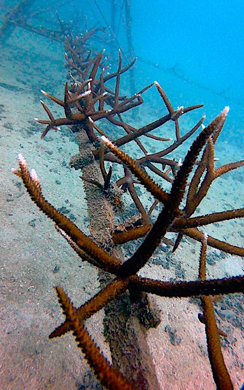 thefunkyturtle.com Artificial Coral Reef Koh Tao