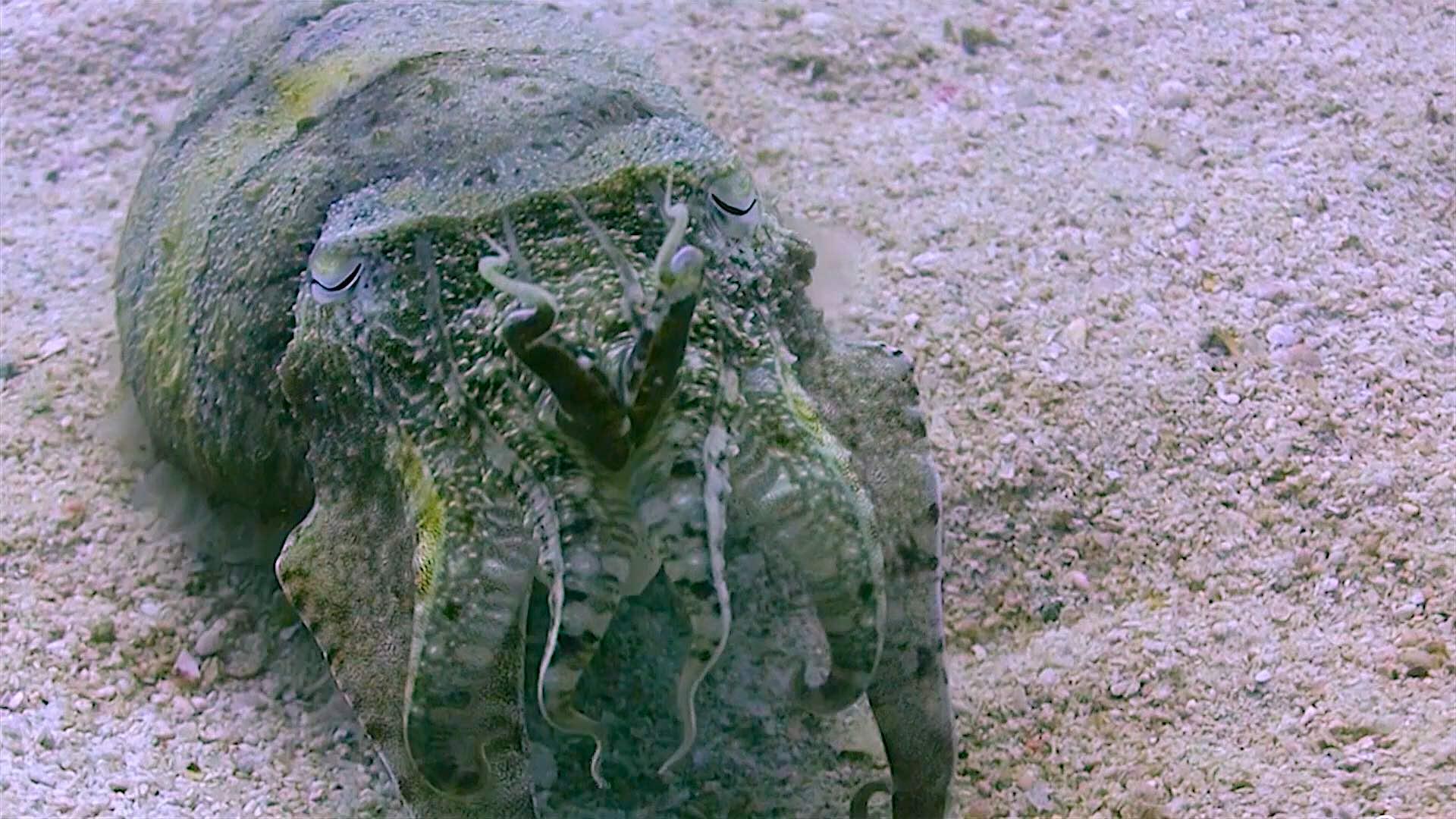 www.thefunkyturtle.com Buoyancy world dive site koh tao cuttle fish