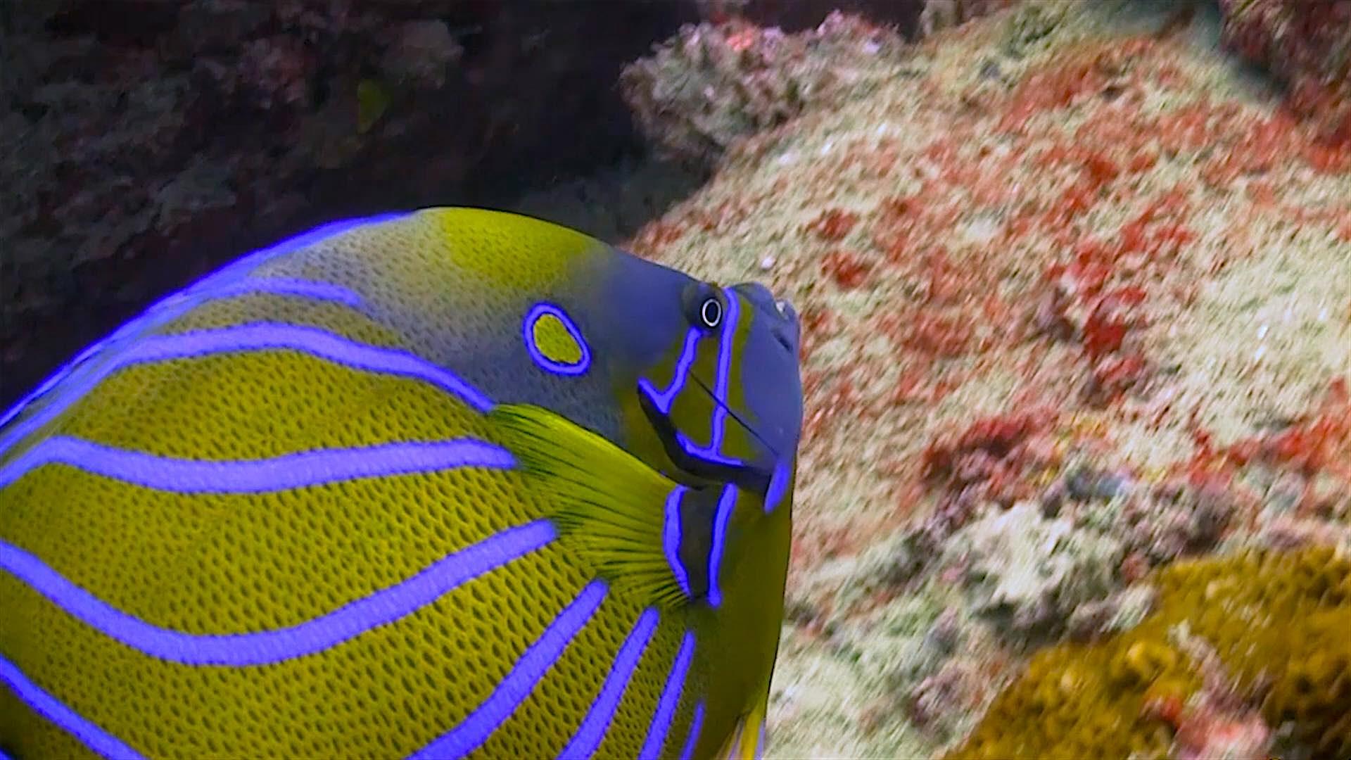 www.thefunkyturtle.com Laem Thian dive site koh tao angel fish