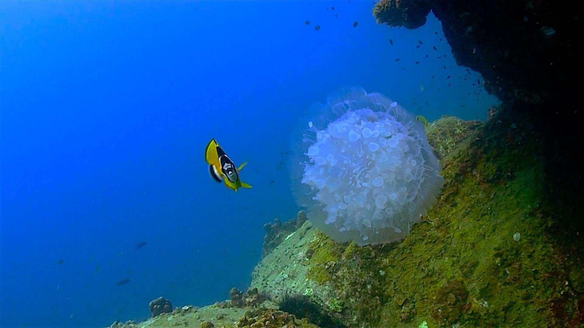 www.thefunkyturtle.com Laem Thian dive site koh tao jellyfish