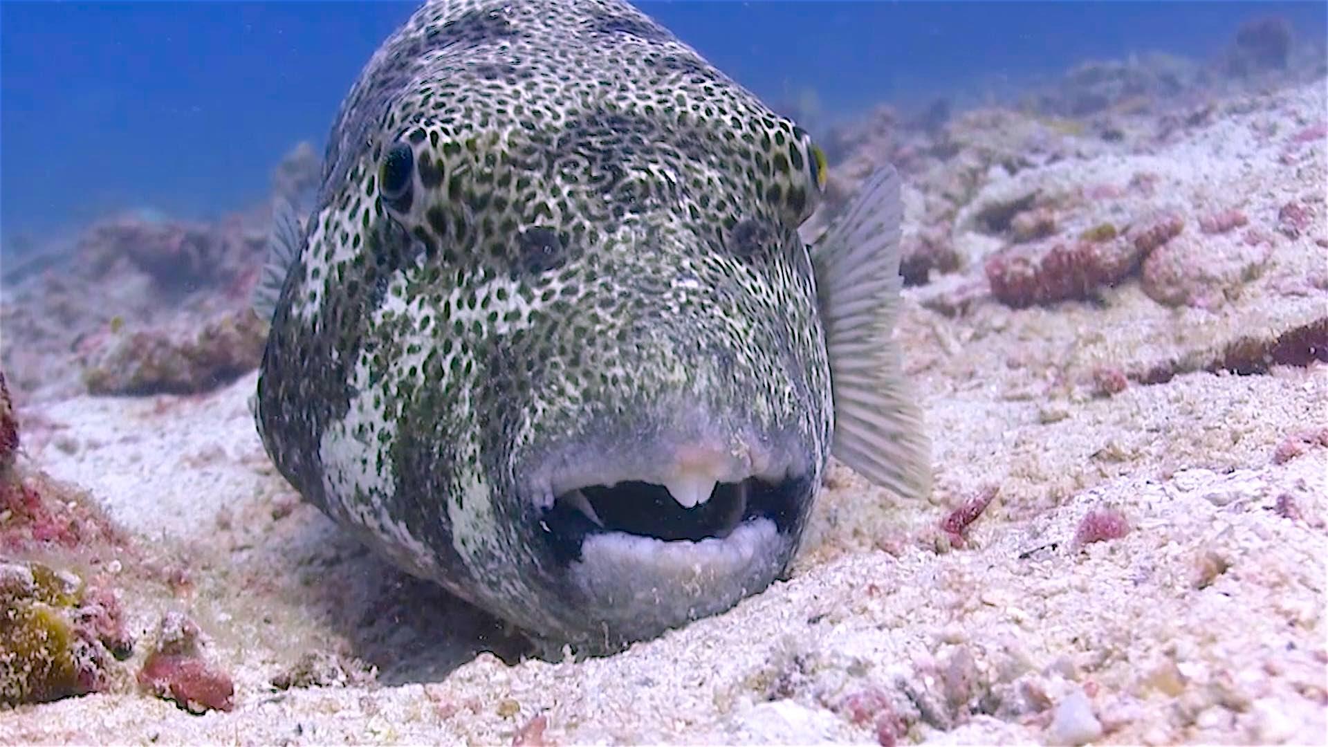 www.thefunkyturtle.com Mango Bay dive site koh tao giant puffer fish
