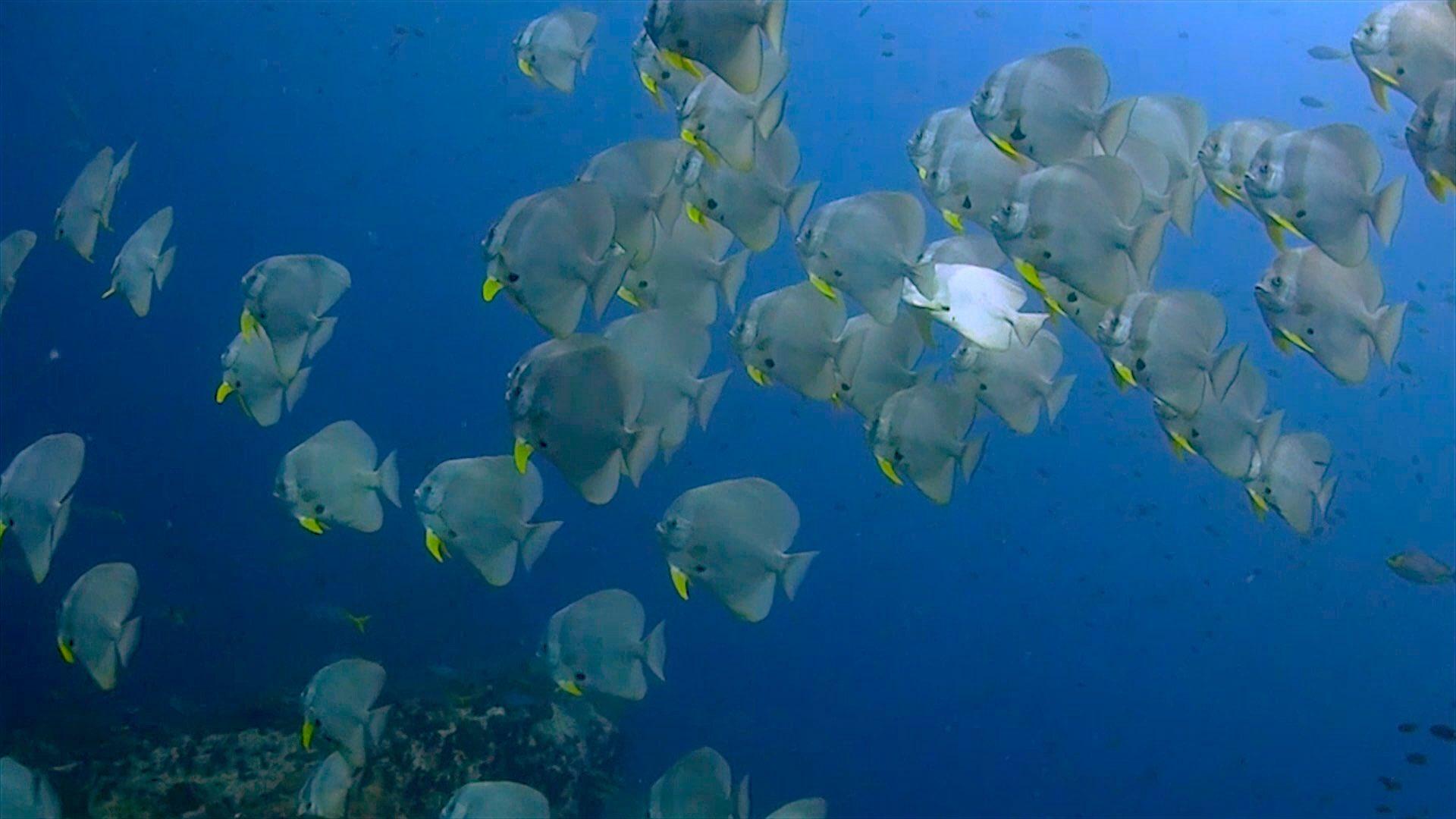 www.thefunkyturtle.com chumphon dive site koh tao batfish