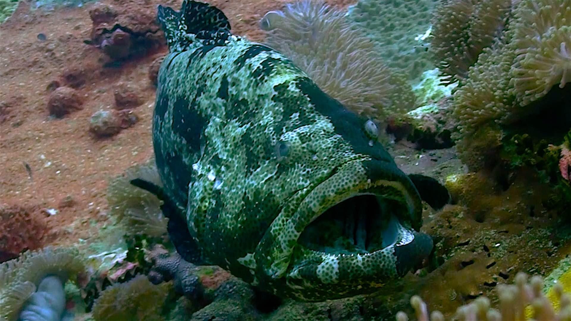 www.thefunkyturtle.com chumphon dive site koh tao grouper
