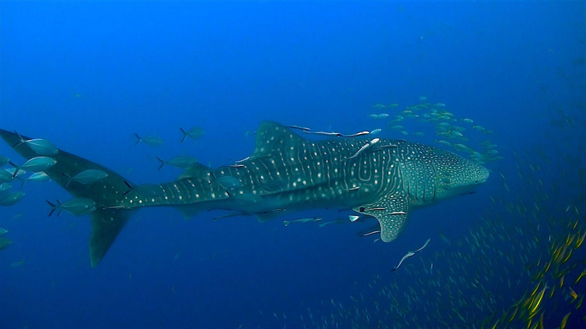 www.thefunkyturtle.com chumphon dive site koh tao whaleshark