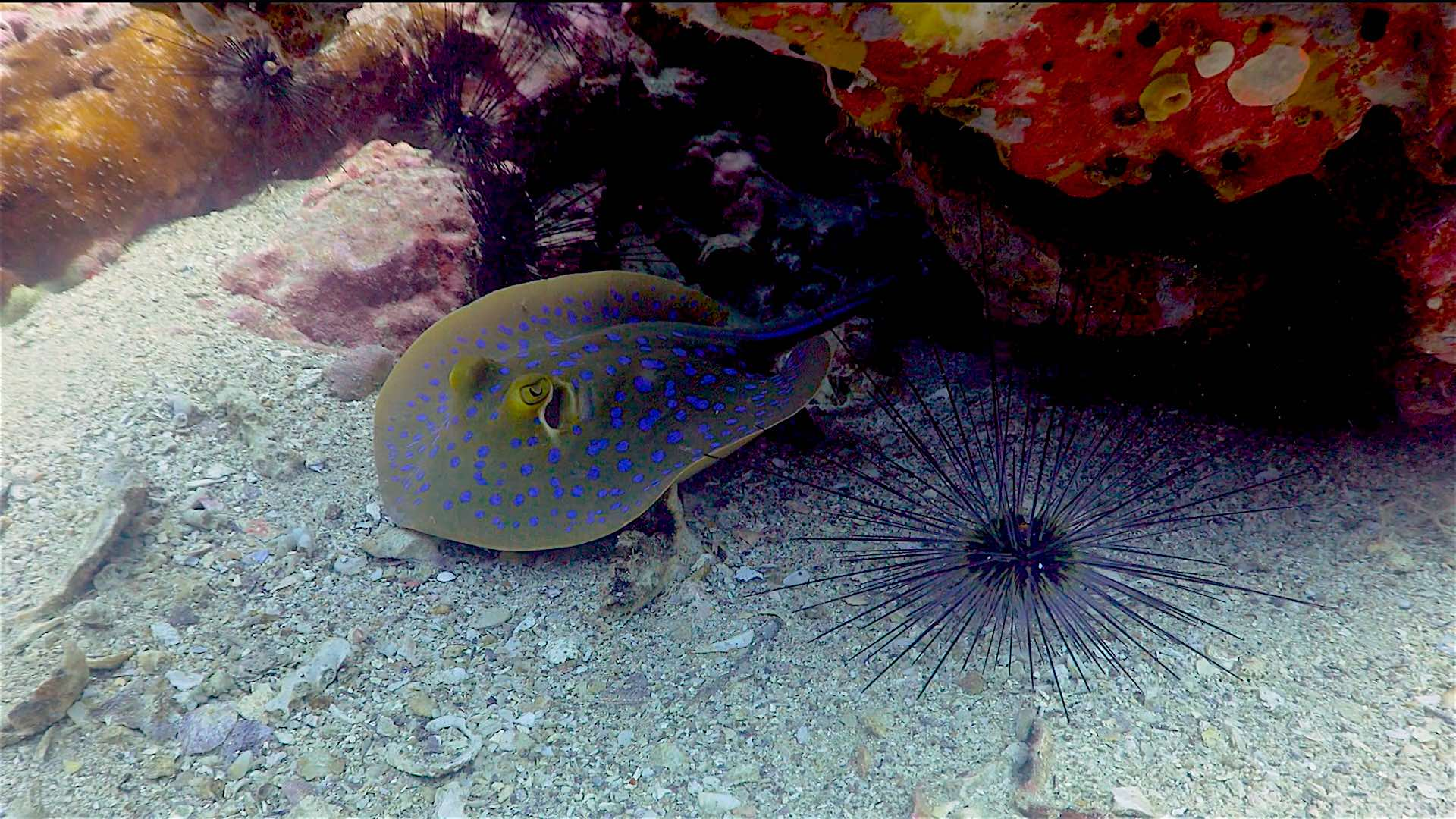 www.thefunkyturtle.com dive sites south west pinnacle koh tao blue spotted stingray