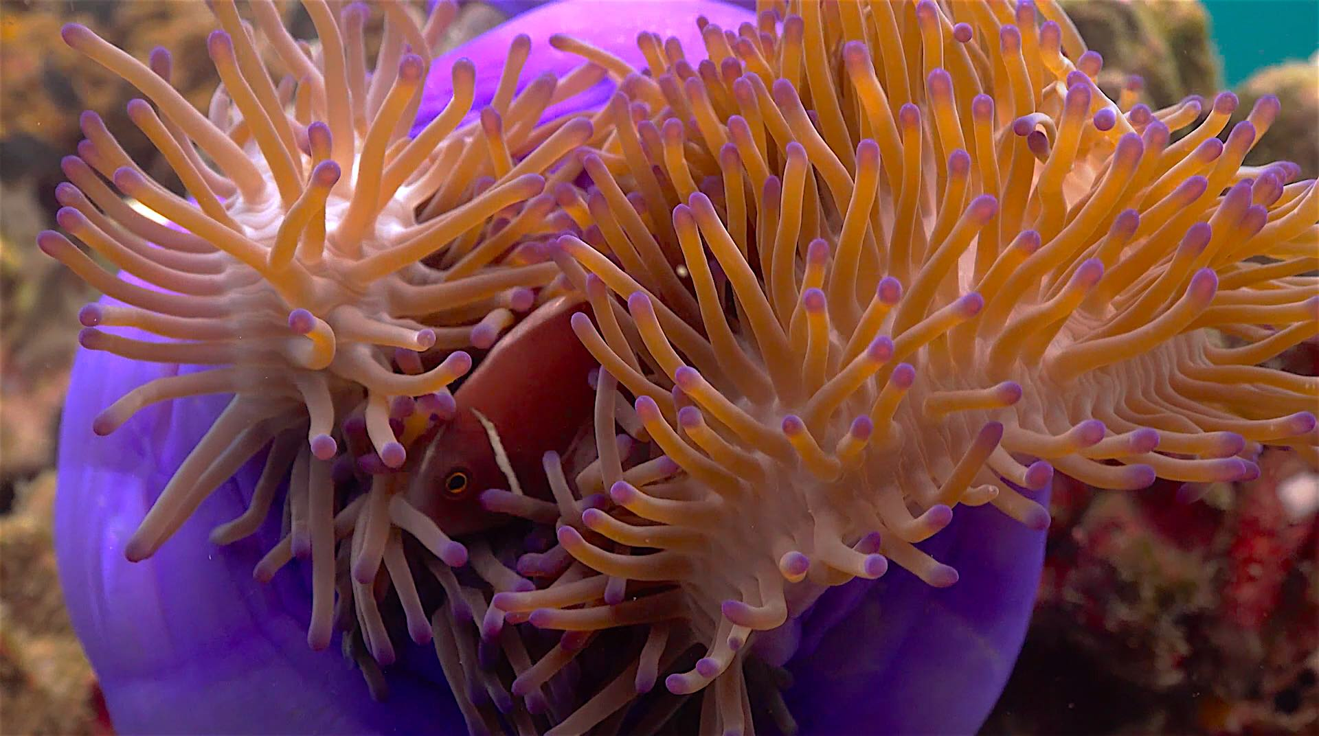 www.thefunkyturtle.com hin wong dive site koh tao anemone