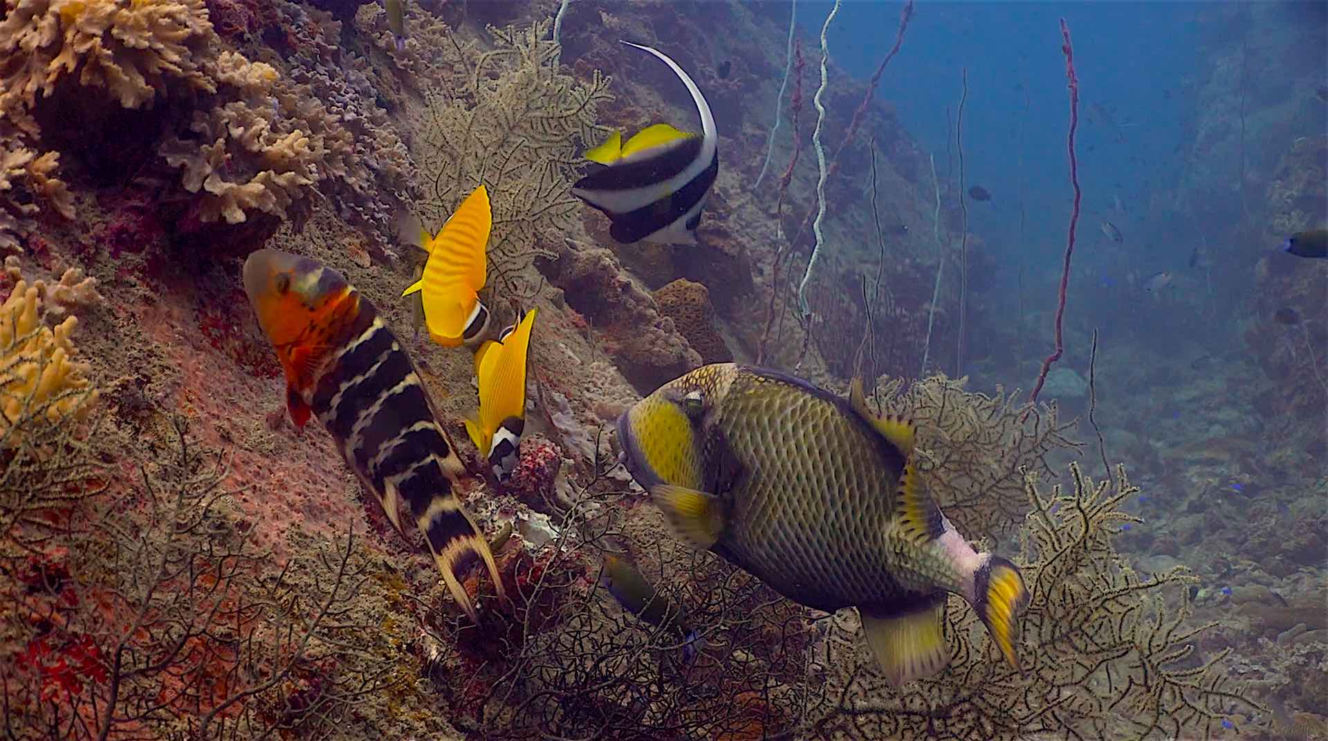 www.thefunkyturtle.com hin wong dive site koh tao trigger fish