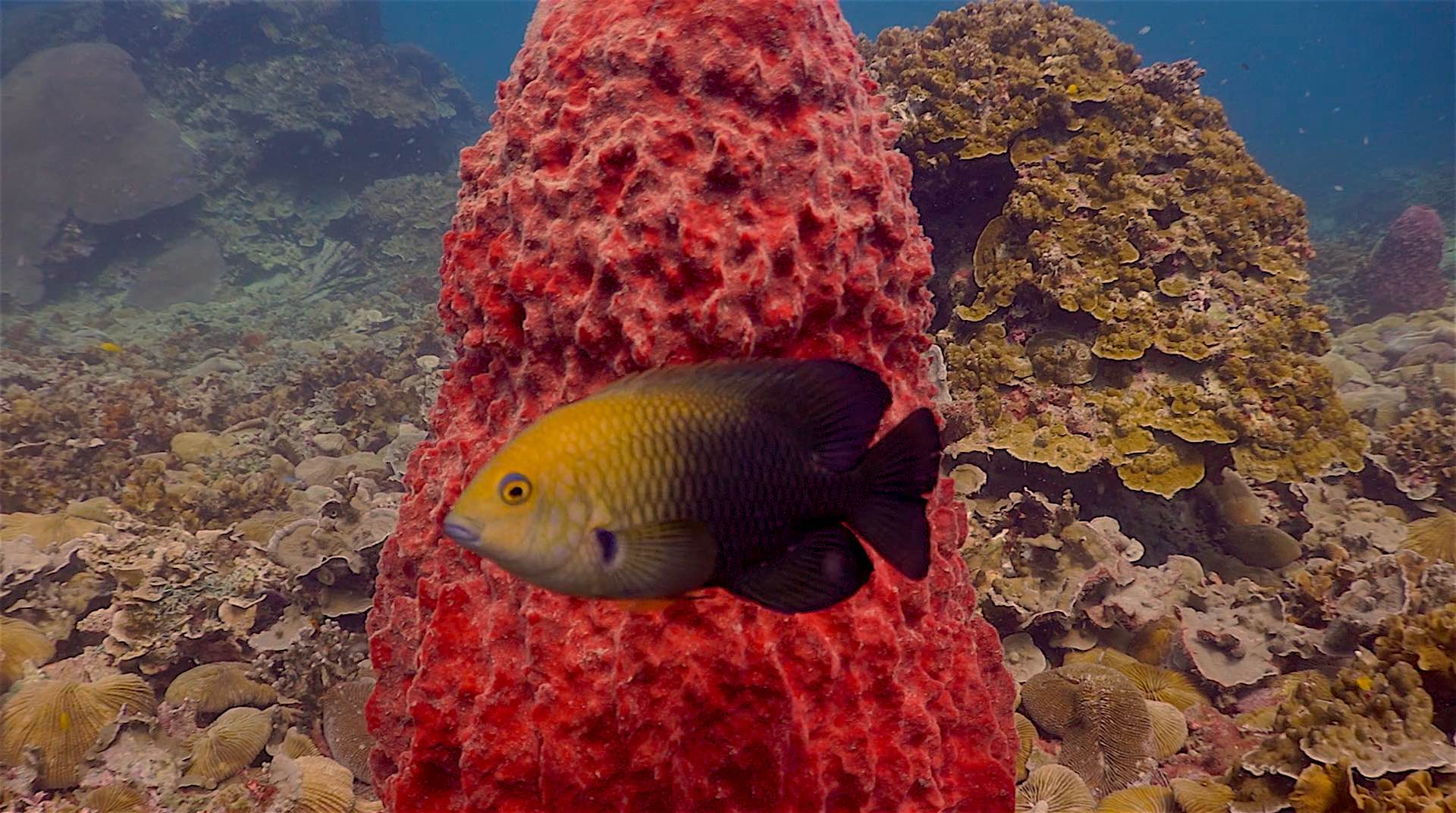 www.thefunkyturtle.com japanese gardens dive site koh tao damsel fish