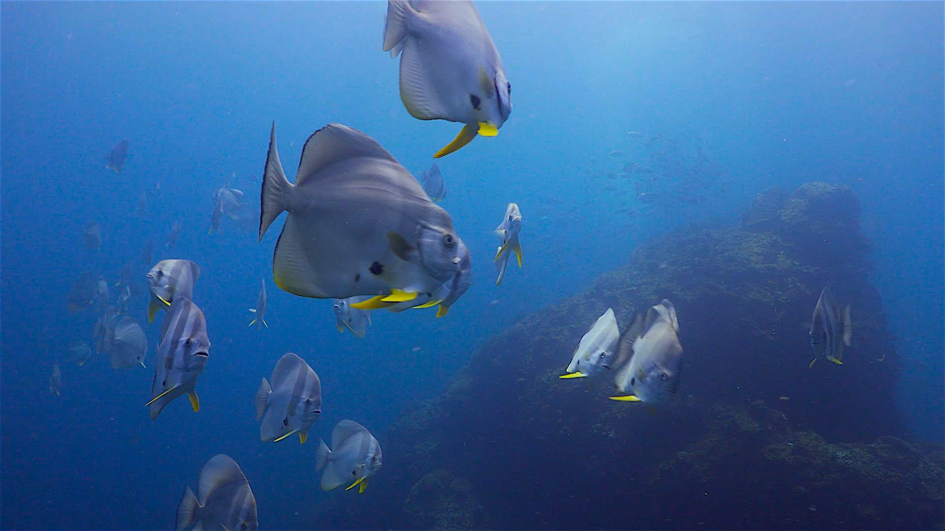 www.thefunkyturtle.com sail rock dive site koh tao batfish shoal
