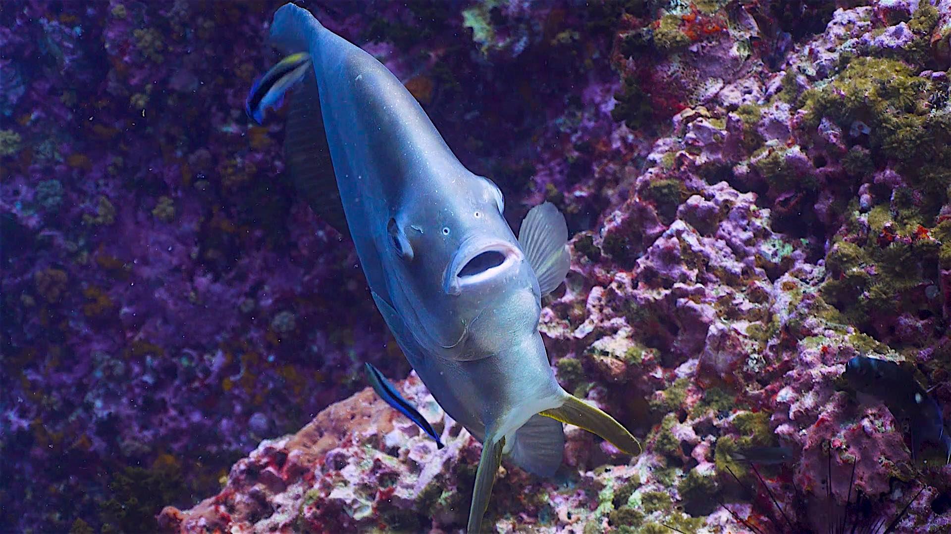 www.thefunkyturtle.com sail rock dive site koh tao batfish