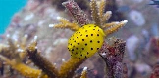 thefunkyturtle.com Buoyancy world dive site koh tao boxfish