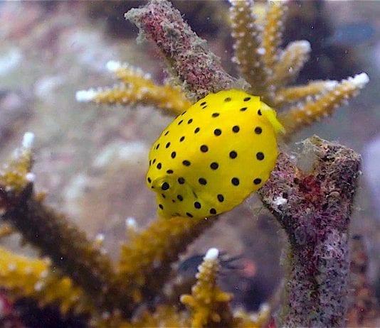 thefunkyturtle.com Buoyancy world dive site koh tao boxfish
