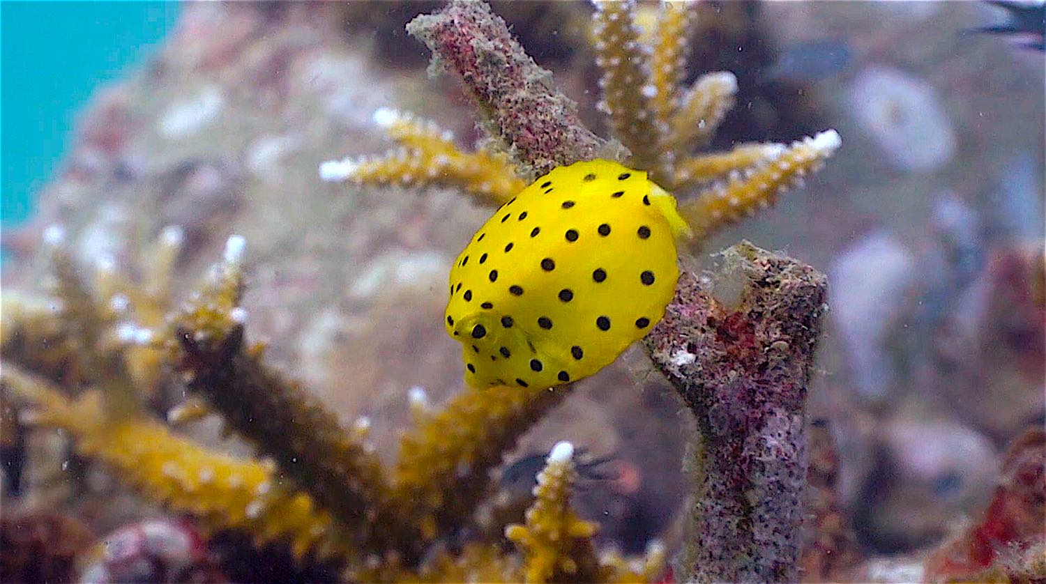 www.thefunkyturtle.com Buoyancy world dive site koh tao boxfish