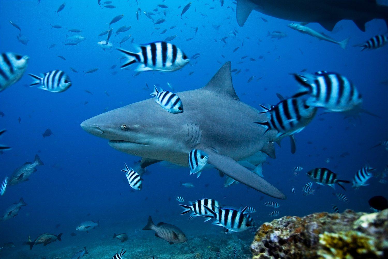 www.thefunkyturtle.com-endangered-bull-shark-on-koh-tao