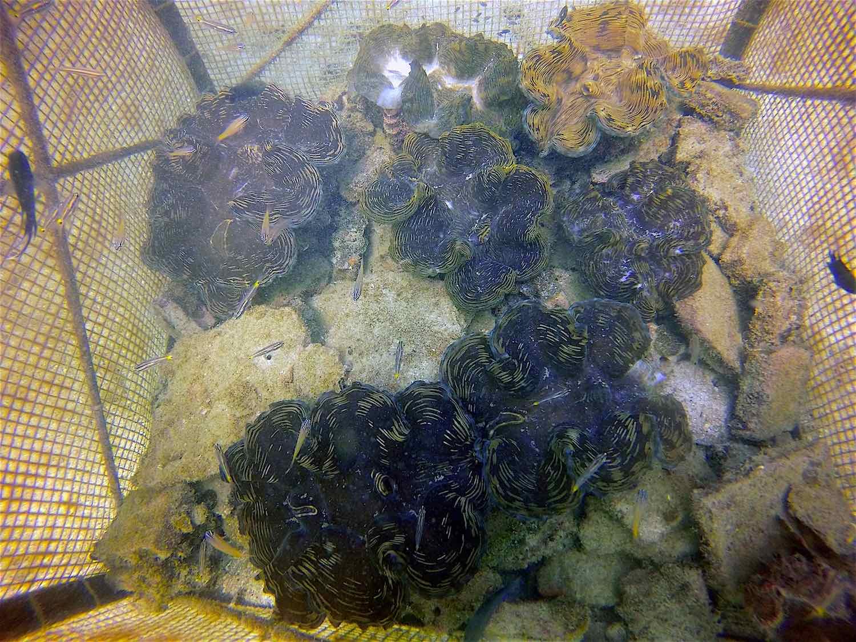 www.thefunkyturtle.com giant clam nurseries koh tao
