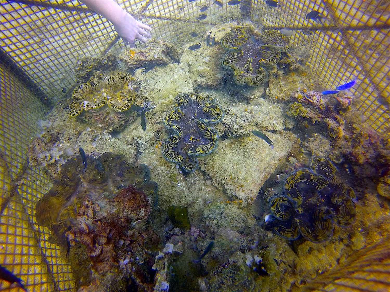 www.thefunkyturtle.com giant clam nursery koh tao