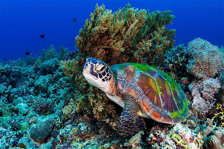 www.thefunkyturtle.com-green-sea-turtle-conservation-on-koh-tao