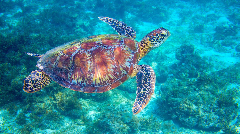 www.thefunkyturtle.com-green-sea-turtle-on-koh-tao