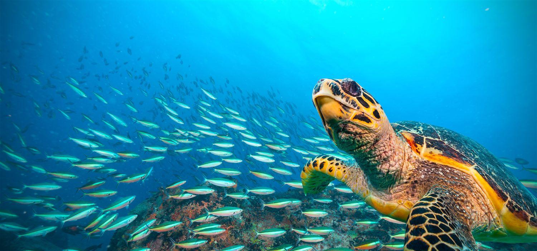 www.thefunkyturtle.com-hawksbill-sea-turtle-on-koh-tao