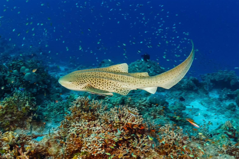 www.thefunkyturtle.com-leopard-shark-on-koh-tao