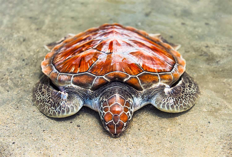 www.thefunkyturtle.com-loggerhead-sea-turtle-on-koh-tao