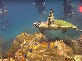 thefunkyturtle.com sea turtles fun diving koh tao