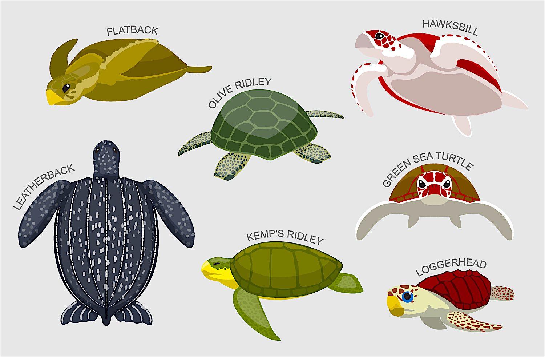 www.thefunkyturtle.com-sea-turtles-on-koh-tao