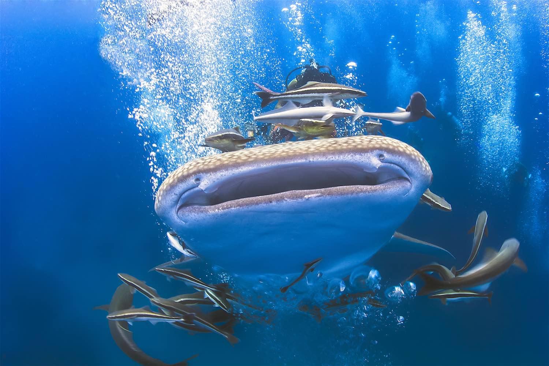www.thefunkyturtle.com-whaleshark-on-koh-tao