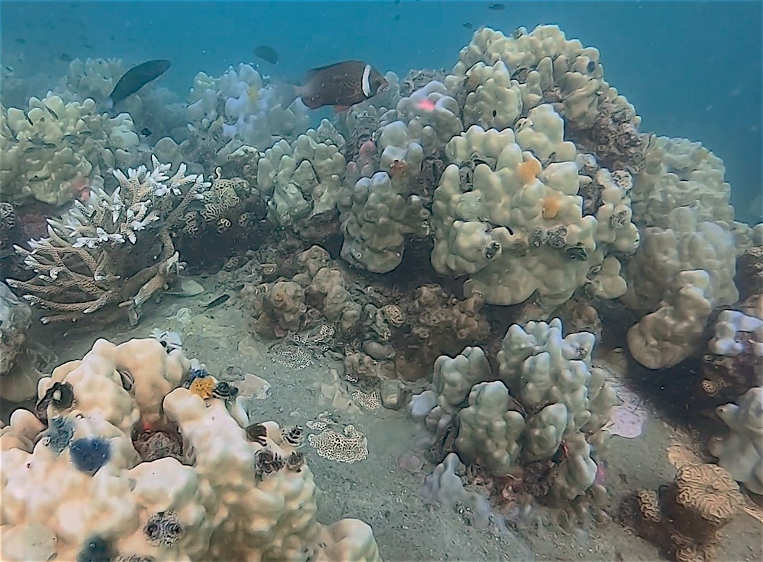 www.thefunkyturtle.com coral bleaching effects thailand