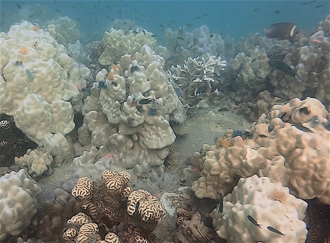 www.thefunkyturtle.com coral bleaching events on koh tao