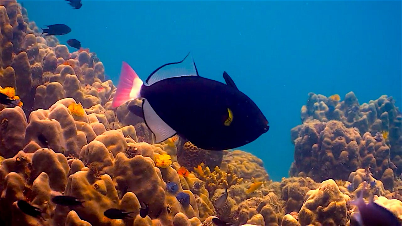 www.thefunkyturtle.com pink tailed triggerfish